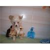 Китайская хохлатая собачка -мальчик
